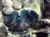 Another giant clam.
