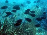 School of fish, Great Barrier Reef.