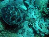 Green turtle on the Great Barrier Reef.