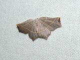 Pale Metanema (Metanema inatomaria)