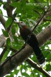 Scale-feathered Malkoha (A PHILIPPINE ENDEMIC)  Scientific name - Phaenicophaeus cumingi  Habitat - Fairly common in forest, edge and second growth up to 2000 m.