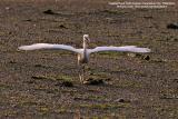 Little Egret   Scientific name: Egretta garzetta   Habitat: Common in coastal marsh and tidal flats to ricefields.