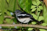 Oriental Magpie-Robin (Female)   Scientific name - Copsychus saularis mindanensis   Habitat - Uncommon, in all levels of second growth and cultivated areas in the lowlands.