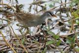 White-browed Crake 