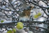 Fieldfare (Björktrast) feasting on winter apple