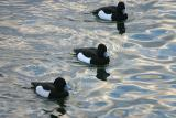 Tufted Ducks (Vigg) Aythya fuligula