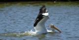 white_pelicans