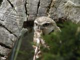 Owl eating a rat
