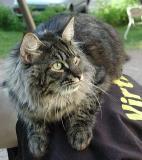 Tämä lenkkeilytyyli sopii kunnon kissoille, joilla on hyvää henkilökuntaa!