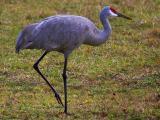 Sandhill Crane 2834