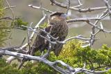 Caracara chick at attention.jpg
