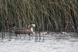 Upland goose family v1.jpg