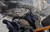Hood Mockingbirds looking for waterbottle