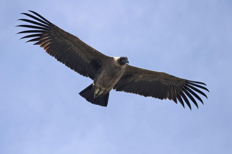 Andean Condor v2.jpg