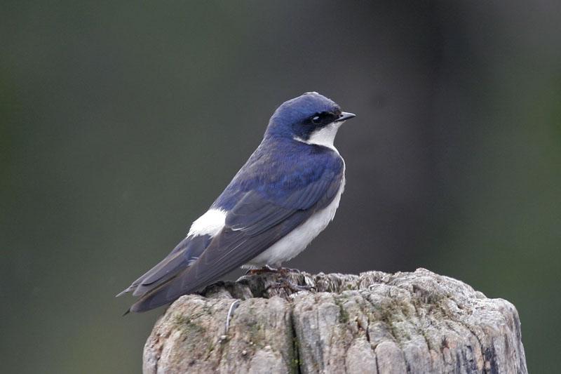 Chilean swallow.jpg