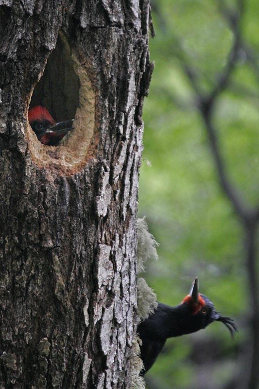 Magellanic Woodpecker female w chick.jpg