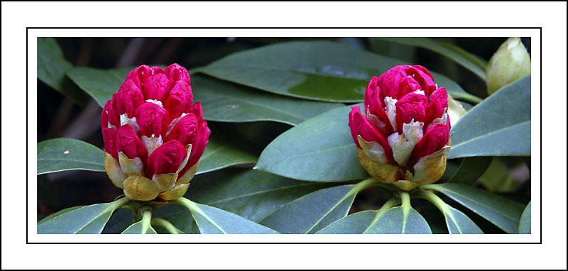 Rhododendron buds, Arlington Court, N. Devon