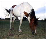 horsetulip6027.jpg