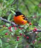 Baltimore Oriole, Kingston, NH, May