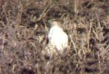 Ferruginous Hawk - MS - 12-31-04 - 1.jpg