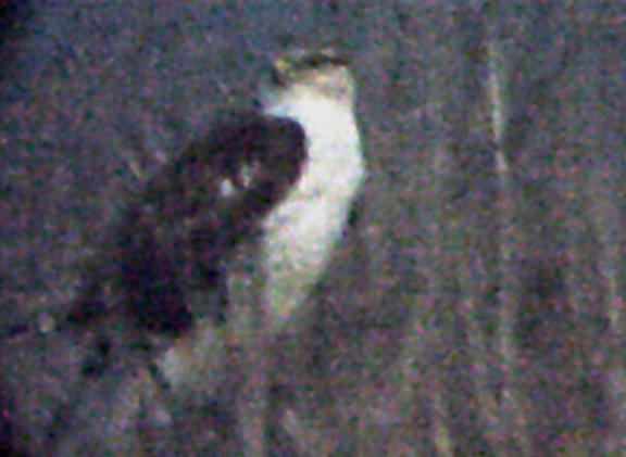Ferruginous Hawk - MS- 12-31-04  - 3.jpg