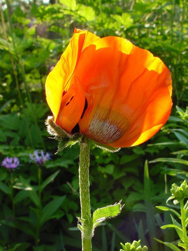 poppy2 02.jpg