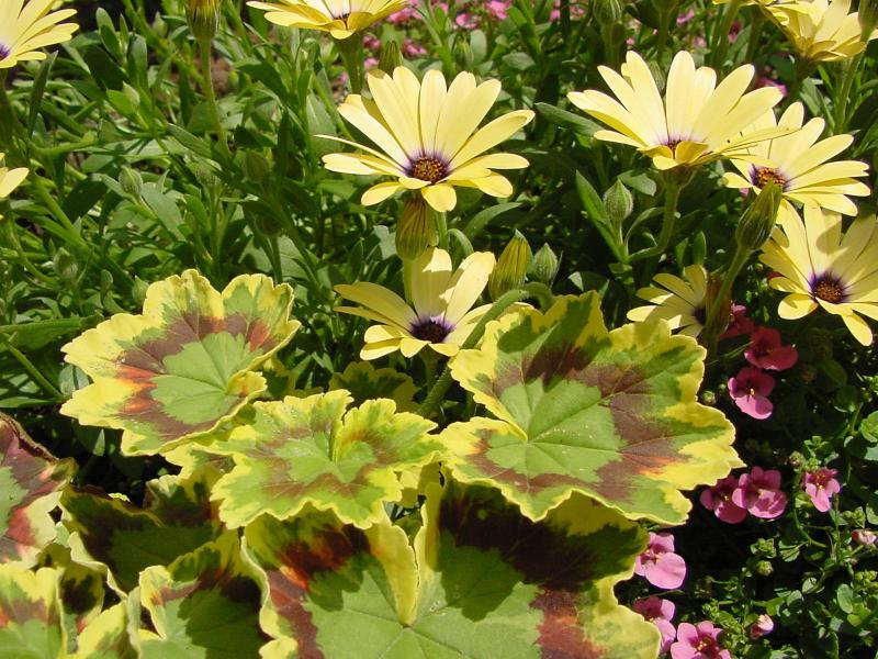 osteospermum  geranium.jpg