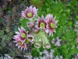sempervivum flower.jpg