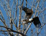 Bald Eagle 1204-3j  Naches River