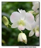Orchid 5. Dendrobium Masako Kotaishi Hidenka