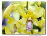 Orchid 28. Dendrobium Benazir Bhutto