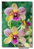 Orchid 29. Dendrobium De Klerk