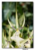 Orchid 31. Brassia Rex