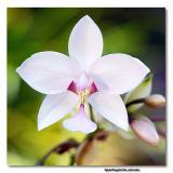 Orchid 32. Spathoglottis Plicata