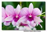 Orchid 33. Dendrobium Joaquim Alberto Chissano