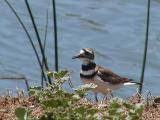 Killdeer near Monterey CA