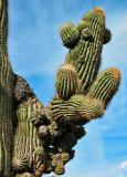Unusual saguaro arm