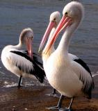Three Australian pelicans at Bay