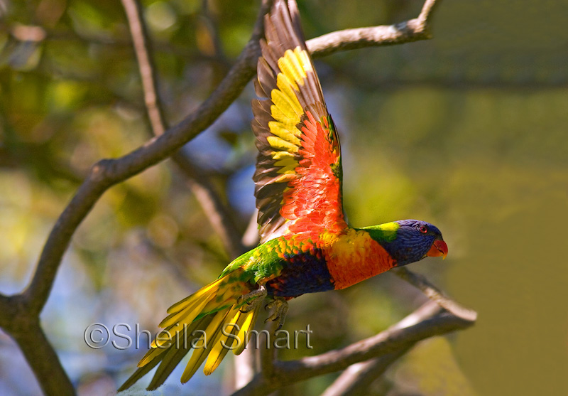 Rainbow lorikeet in flight