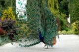 Side view of Peacock