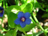 Morrião-azul // Blue Pimpernel (Anagallis arvensis ssp. foemina)