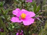 Roselha // Rockrose (Cistus crispus)