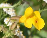 Yellow Monkeyflower (Mimulus guttatus)
