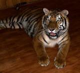 Siberian Tiger2.jpg