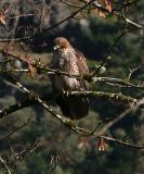 Red Tailed Hawk 9846.jpg