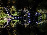 venomous sea snake. Laying at surface (reflection)
