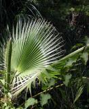Palm - LA Zoo - CP 5000