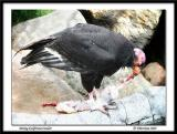 Dining California Condor