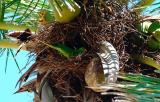Parrot in coconut palm nest bird stock photo