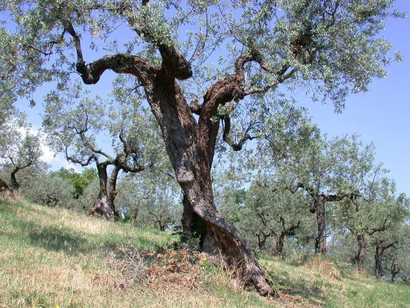 Olive Orchard near Bevagna, Umbria